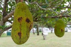 Jackfruit do fruto tropical na árvore fotos de stock