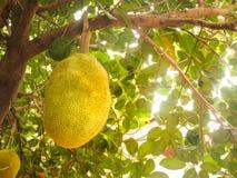 Jackfruit dojrzały Obraz Stock
