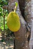 jackfruit drzewo Zdjęcia Royalty Free