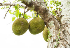 The jackfruit. Royalty Free Stock Image