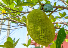 Jackfruit en árbol Fotografía de archivo