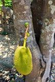 Jackfruit en árbol Foto de archivo