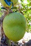 Jackfruit en árbol de Jackfruit Imagen de archivo libre de regalías