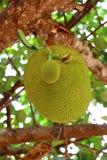 Jackfruit en el árbol Imágenes de archivo libres de regalías