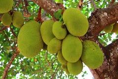 Jackfruit en el árbol Foto de archivo