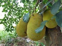 Jackfruit en el árbol Foto de archivo libre de regalías