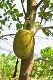 Jackfruit en el árbol en Tailandia Foto de archivo libre de regalías