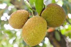 Jackfruit fruit. Marco of three Jackfruit fruit hanging on the tree Stock Image