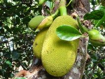 Jackfruit fruit  bud Royalty Free Stock Image