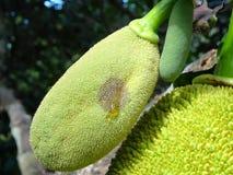 Jackfruit fruit  bud Royalty Free Stock Images