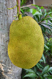 Jackfruit fruit Royalty Free Stock Images