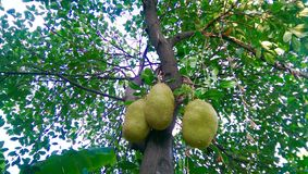 Jackfruit fruit tree Royalty Free Stock Photo