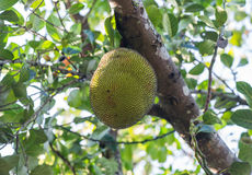 Jackfruit fruit on the tree Stock Images
