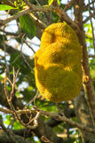 Jackfruit fruits on the tree Royalty Free Stock Images