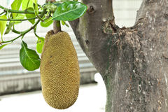 Jackfruit in the garden Stock Photo