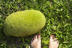 Jackfruit on green grass with woman feet. Big jackfruit on ground. Exotic fruit under sunlight. Tropical garden harvesting. Fruit with green textured surface Royalty Free Stock Photography