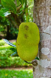 A  jackfruit with green leaf Stock Photography