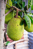 Jackfruit Stock Images