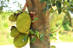 Jackfruit grow on tree Royalty Free Stock Photo
