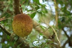 Jackfruit grow on tree Stock Photos