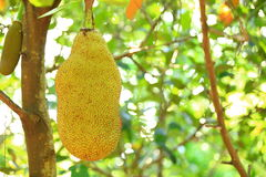 Jackfruit grow on tree Stock Photography