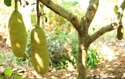 Jackfruit grow on tree Stock Images