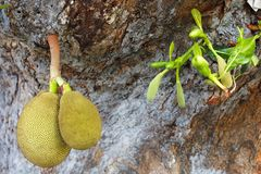 Jackfruit hanging Royalty Free Stock Images