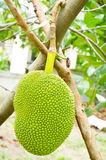 Jackfruit hanging Stock Photography