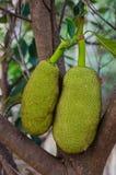 Jackfruit hanging on the tree. Twin jackfruit hanging on the tree Stock Image