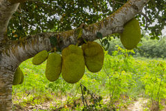 Jackfruit Hanging on Tree, Zanzibar stock image
