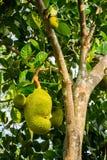 Jackfruit het groeien op boom in Mekong Delta Royalty-vrije Stock Foto