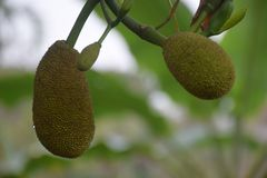 Jackfruit. Hmm testy, nice.. i really like it Royalty Free Stock Photos