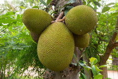 Jackfruit Royalty Free Stock Image