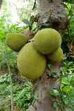 Jackfruit Royalty Free Stock Photo