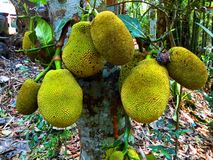 jackfruit i den lägre sidan av ett träd arkivbild