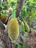 Jackfruit i mrówki Zdjęcia Royalty Free
