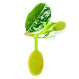 Jackfruit Isolated on White Stock Photography