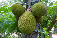 Jackfruit. Jack fruit is a huge tree of tropical fruits and has unique shape, size, and fruity flavor of its bulbs. It is also fully rich with energy, dietary Royalty Free Stock Photo