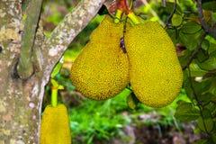 Jackfruit. The jack fruit id fruiting in the garden Stock Photo