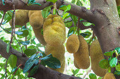 Jackfruit on a jack tree. Stock Photo