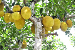 Jackfruit on a jack tree. Royalty Free Stock Image