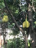 Jackfruit or Jack tree. Jackfruit or Artocarpus heterophyllus or Jakfruit or Jack tree Stock Image