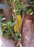 Jackfruit on Jack Tree - Artocarpus Heterophyllus Stock Images