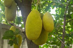 The jackfruit. Jack tree, is a species of tree in the fig, mulberry, and breadfruit family native to South India. They suited to tropical lowlands, and its Royalty Free Stock Photos