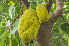 The jackfruit. Jack tree, is a species of tree in the fig, mulberry, and breadfruit family native to South India. They suited to tropical lowlands, and its Stock Photos