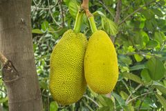The jackfruit. Jack tree, is a species of tree in the fig, mulberry, and breadfruit family native to South India. They suited to tropical lowlands, and its Stock Photo