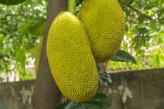 The jackfruit. Jack tree, is a species of tree in the fig, mulberry, and breadfruit family native to South India. They suited to tropical lowlands, and its Royalty Free Stock Images