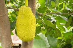 Jackfruit jackfruit, frukt, gräsplan, stammar som är nya, frukt Fotografering för Bildbyråer
