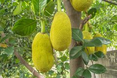 The jackfruit. Jack tree, is a species of tree in the fig, mulberry, and breadfruit family native to South India. They suited to tropical lowlands, and its Stock Images
