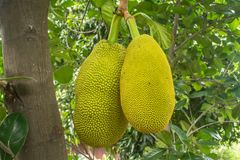 The jackfruit. Jack tree, is a species of tree in the fig, mulberry, and breadfruit family native to South India. They suited to tropical lowlands, and its Royalty Free Stock Photo